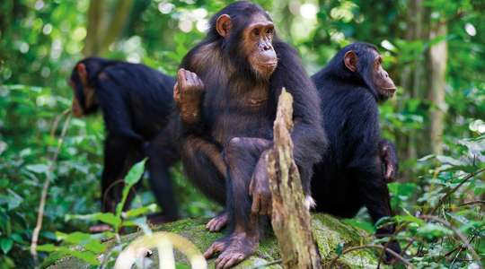 Chimps of the Nyungwe Forest