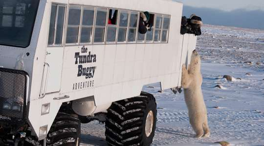 Churchill Polar Bear Experience