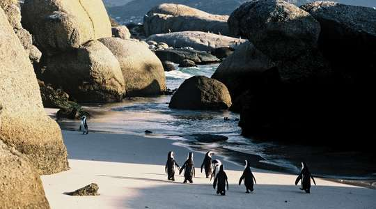 Penguins on Boulders beach