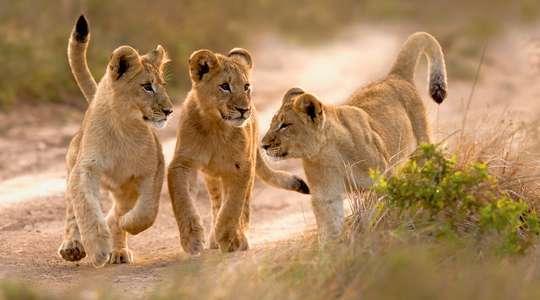 Safari and the City